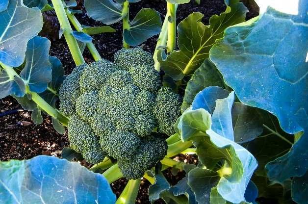 broccoli in vegetable garden