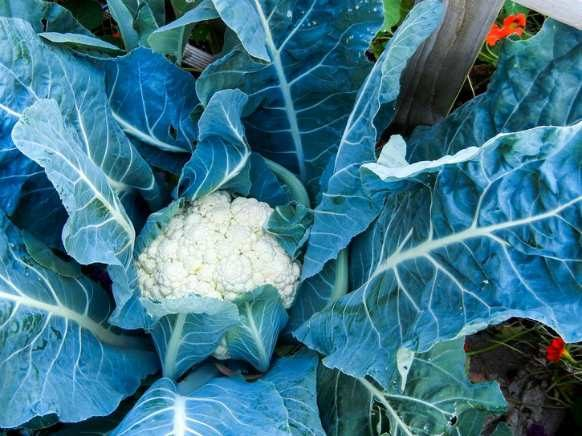 cauliflower-vegetable-garden
