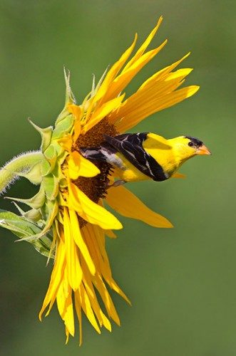 Bird Feeding: American Goldfinch on a sunflower