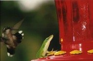 Friday Funny Photography: Hummingbird and Anole