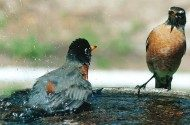 Friday Funny Photography: Robin Bathtime
