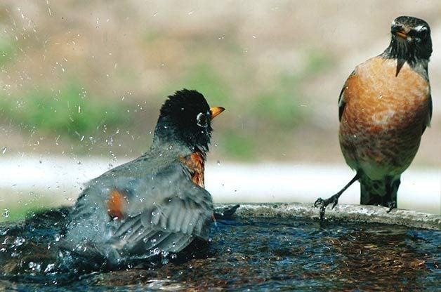Friday Funny Photography: Robin Bathtime