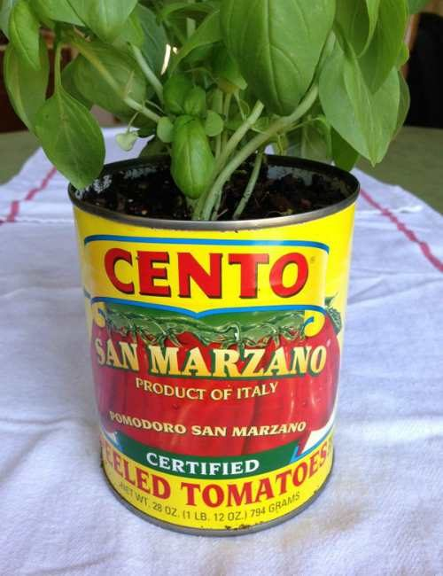 how root basil tomato can container