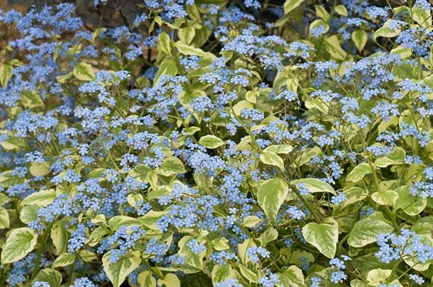 Shade Garden Ideas: Brunnera