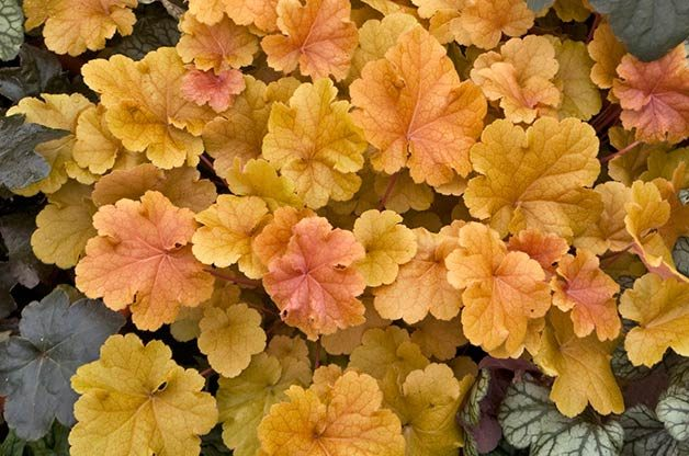 Shade Garden Ideas: Coral bells