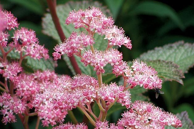 Shade Garden Ideas: Rodgersia