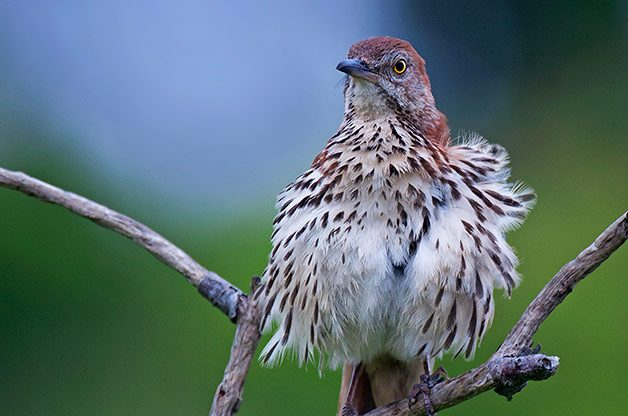 Attracting Songbirds: Brown Thrashers