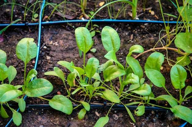 young-spinach-vegetable-garden