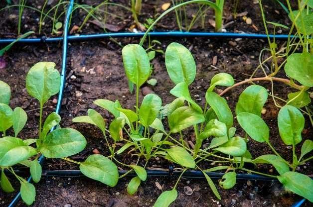 young-spinach-vegetable-garden