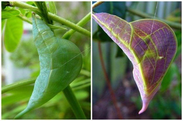 Chrysalids Living Leaves