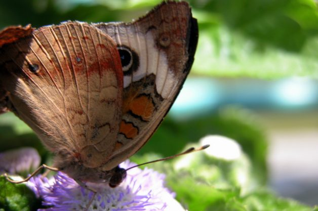 Common Buckeye Profile