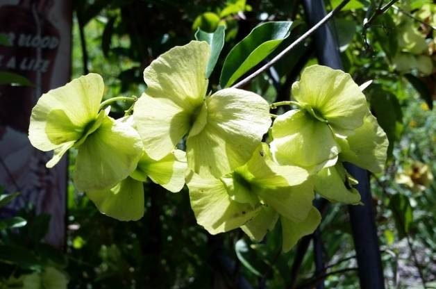 Drought Tolerant Butterfly Vine
