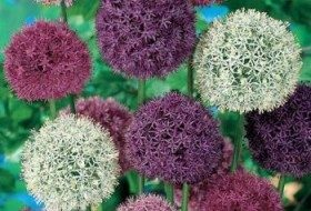 Alliums are part of the onion family, and are great for attracting early butterflies.