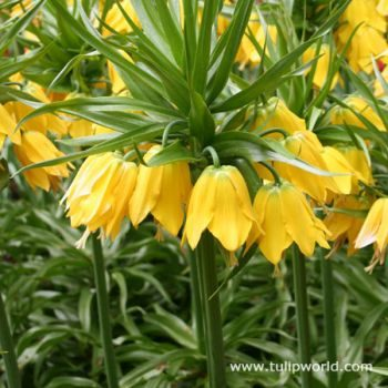 Fall Planted Bulbs Crown Imperial