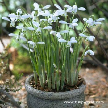 Fall Planted Bulbs Snowdrops