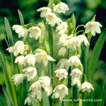 Fall Planted Bulbs Squill
