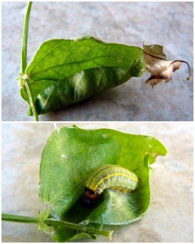 Finding Caterpillars