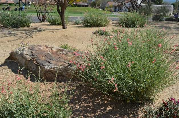 Flowering globe mallow fall planting