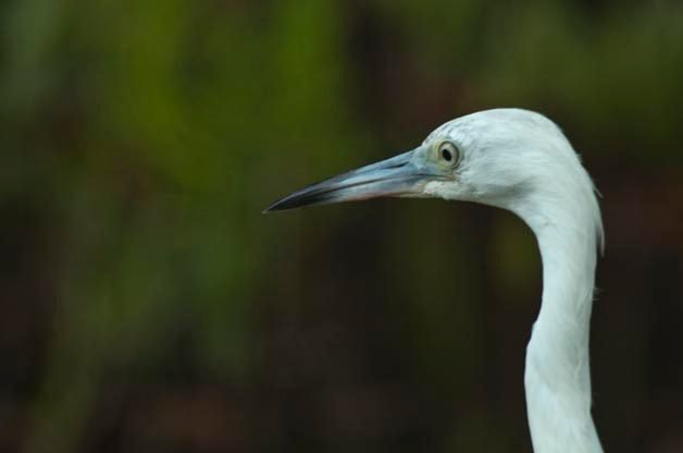 This might not look like a Little Blue Heron but young birds are white for their first year of their life.