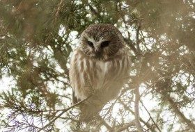 Sometime you can get luck and find a Northern Saw-whet Owl roosting for the day!