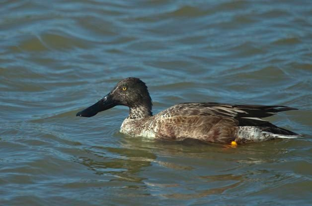 This Northern Shoveler is in the process of molting.