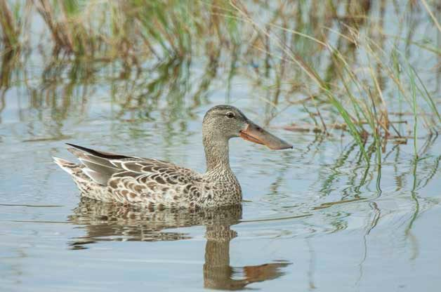 I photographed this female Northern Shovler at Estero Llano Grande State Park in Texas last November.
