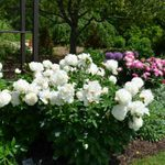 Plant Peonies in Your Flower Garden This Fall