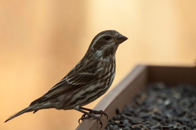 Compared to the female House Finch, the female Purple Finch shows a bolder facial pattern  and is more heavily streaked on the chest.