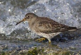 Purple Sandpipers are tough to find for Midwesterners but are quite common at Barnegat Light, New Jersey where I took this photo.
