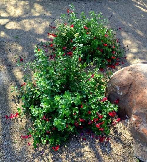 Red Autumn Sage