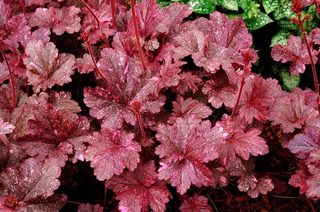 Shade Tolerant Coral Bells: Midnight Rose