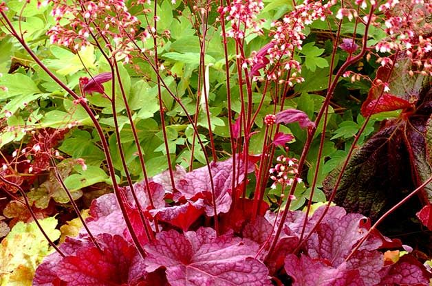 Shade Tolerant Coral Bells: Berry Smoothie