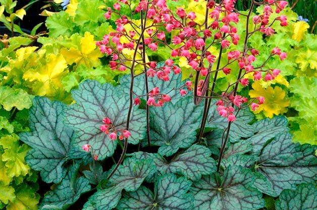 Shade Tolerant Coral Bells: Peppermint Spice