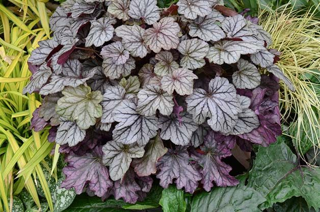 Shade Tolerant Coral Bells: Blackberry Ice