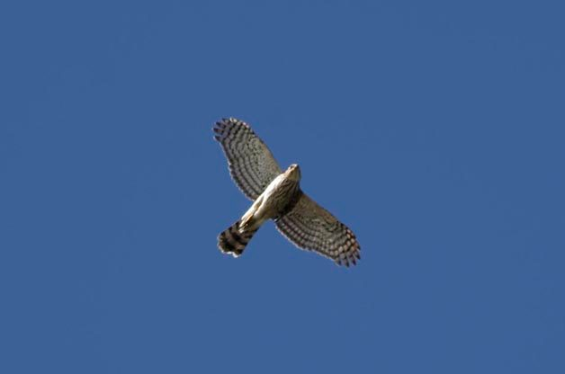 One of the many Sharp-shinned Hawks that I observed migrating at the Detroit River Hawk Watch.