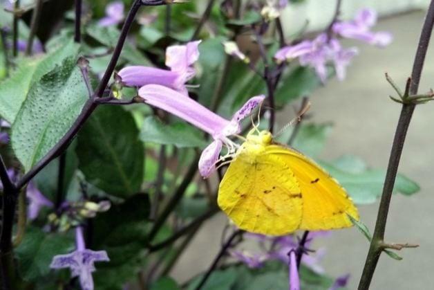 Sleepy Orange Butterfly Feeding