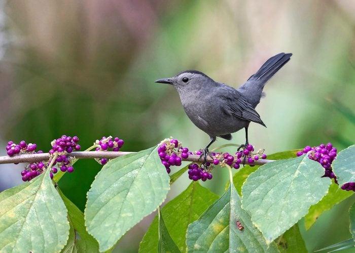 catbird on American beautyberry bush