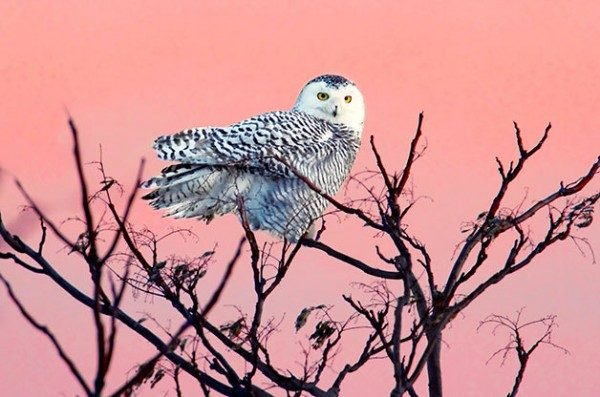 North American Birds of Prey: Snowy owls sometimes fly south in search of winter food sources.