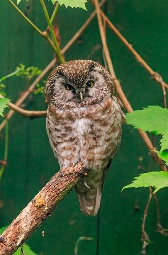 Boreal owl: North American Birds of Prey