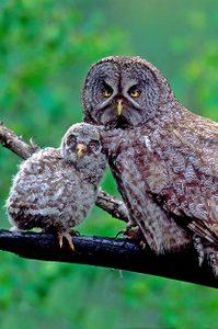 North American Birds of Prey