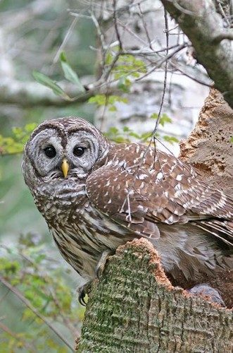 North American Birds of Prey: Barred owl