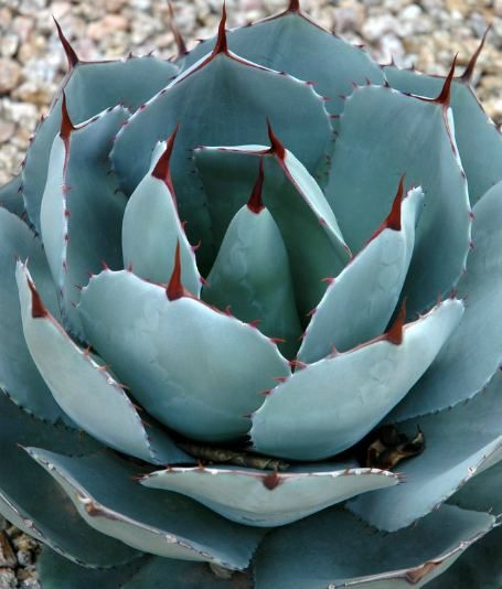 The gray/blue leaves of Agave parryi 'truncata' contrast with the maroon spines in the author's garden.