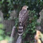 ID Challenge: Cooper's Hawk vs Sharp Shinned Hawk