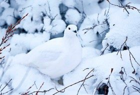 Birding Basics to Camouflaged Birds: Willow ptarmigan in winter