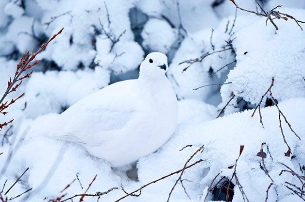 Birding Basics to Camouflaged Birds: Willow ptarmigan in winter