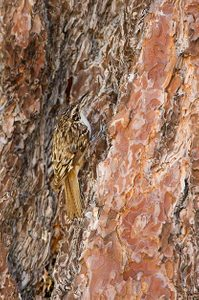Birding Basics to Camouflaged Birds: Brown creeper