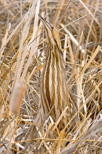 Birding Basics to Camouflaged Birds: American bittern
