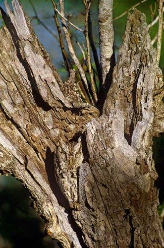 Birding Basics to Camouflaged Birds: Eastern screech-owl