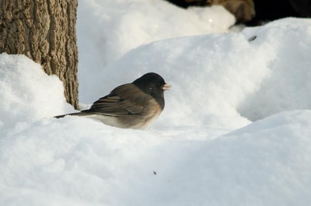 As you head west, especially during the winter months, Oregon Junco becomes quite common.