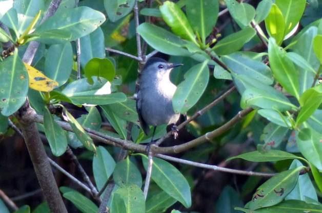 Ding Darling Birding Hotspot Catbirds